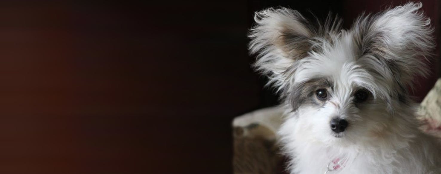 Papi Poo Dog Breed Facts And Information Wag Dog Walking