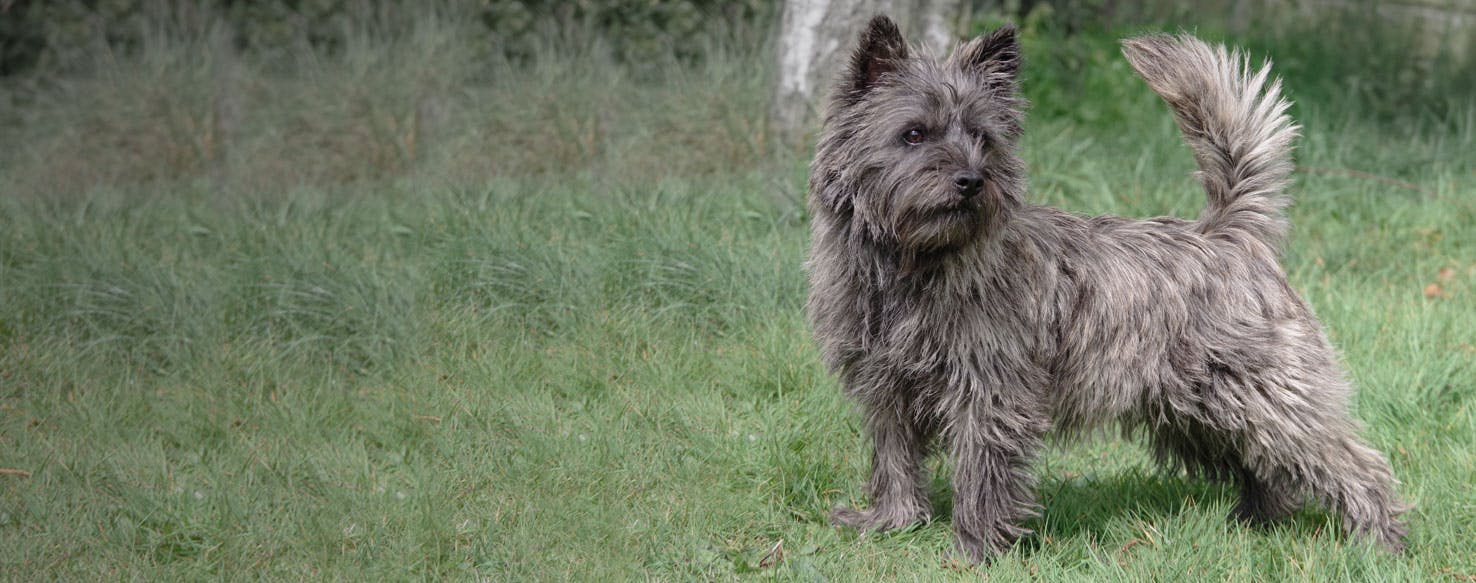 Cairnwich Terrier | Dog Breed Facts and Information - Wag