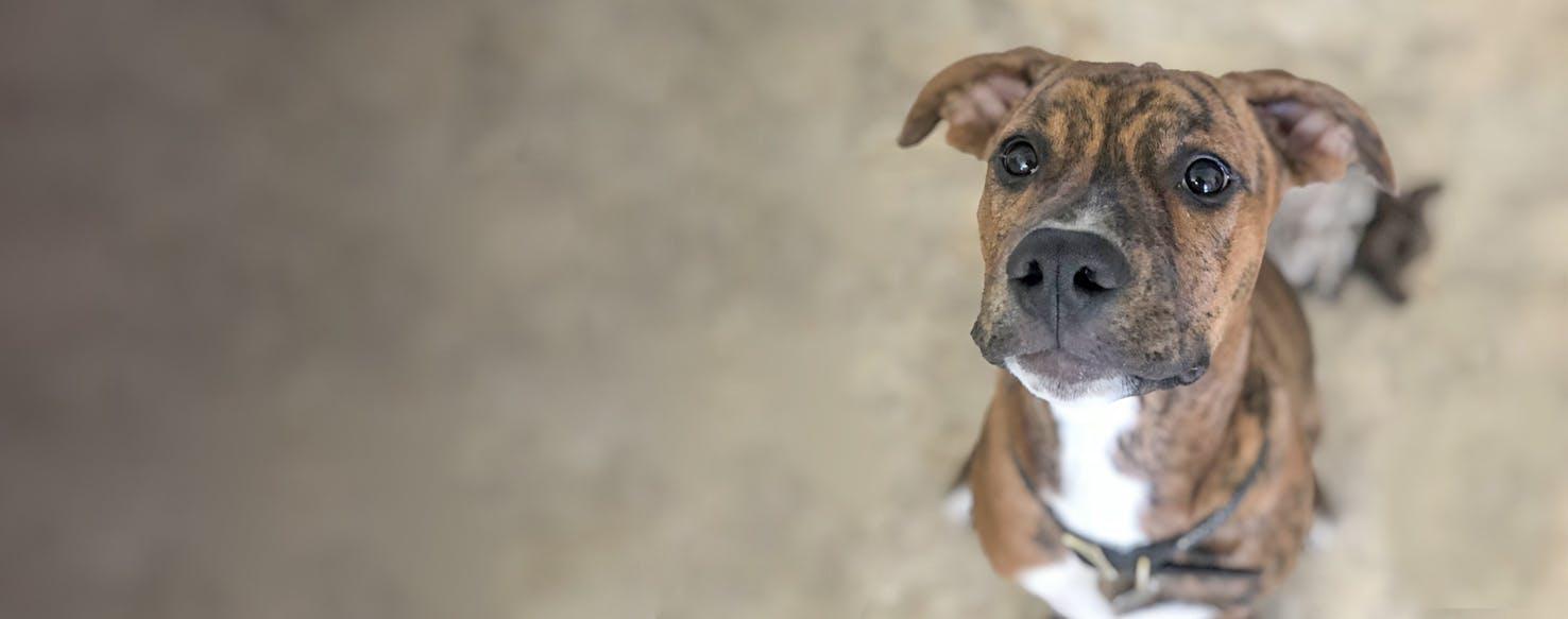 Doberman Bulldog | Dog Breed Facts and Information - Wag