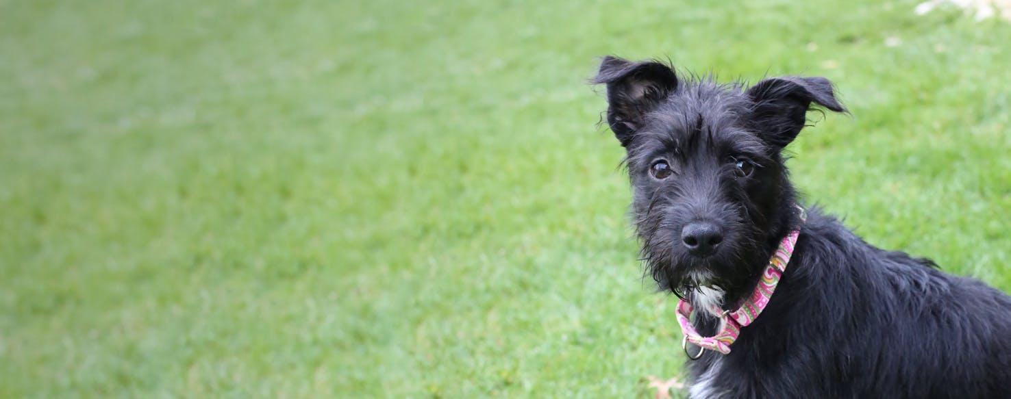 Miniature Irish Wolf Schnauzer Dog Breed Facts And