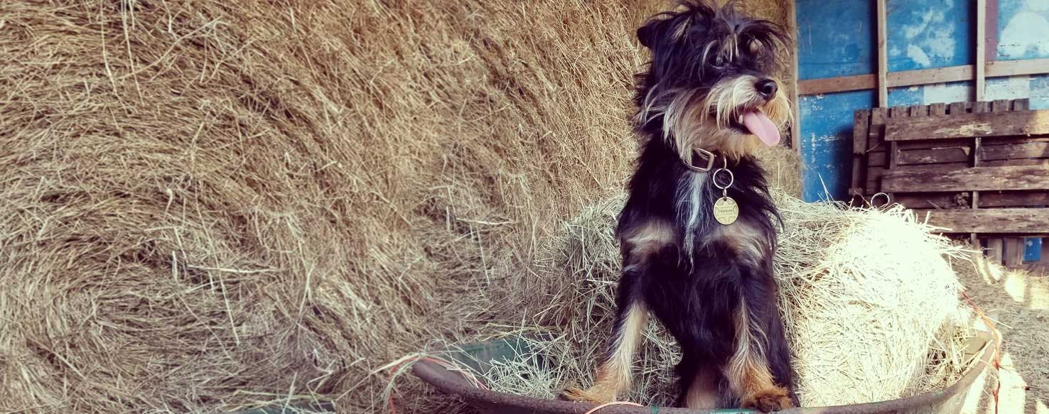Affenshire Dog Breed Facts And