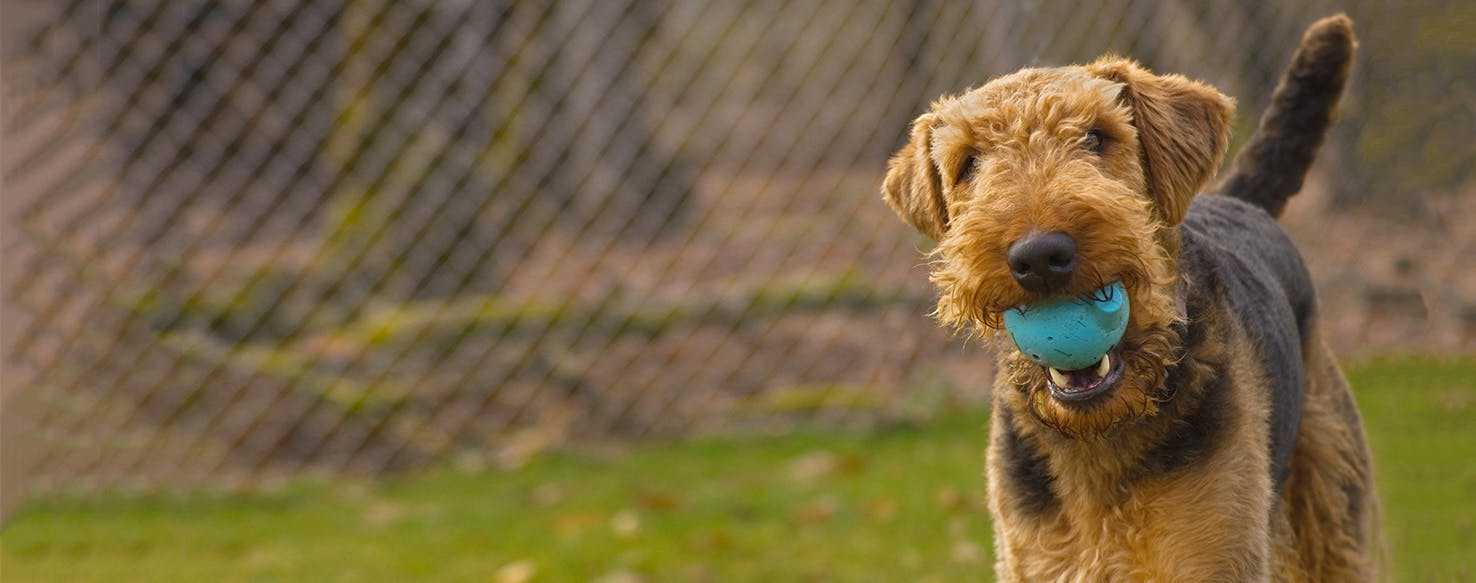 airedale terrier dog breed facts and information wag