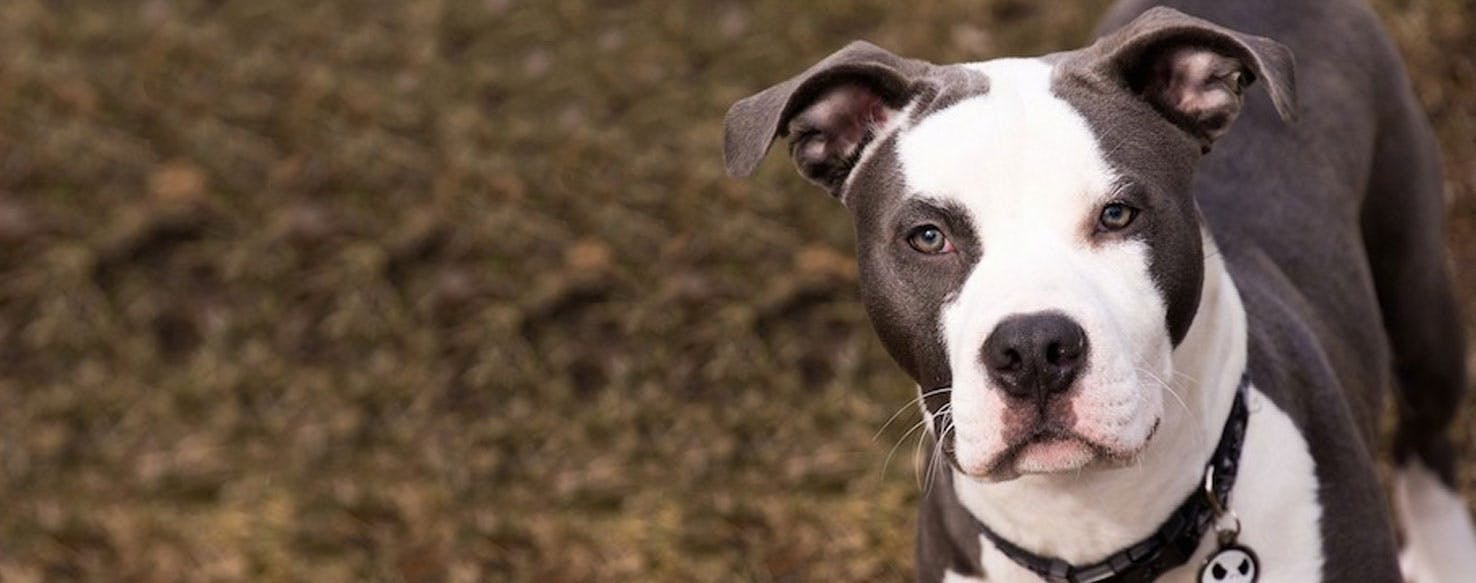 American Bully Staffy Bull Terrier | Dog Breed Facts and