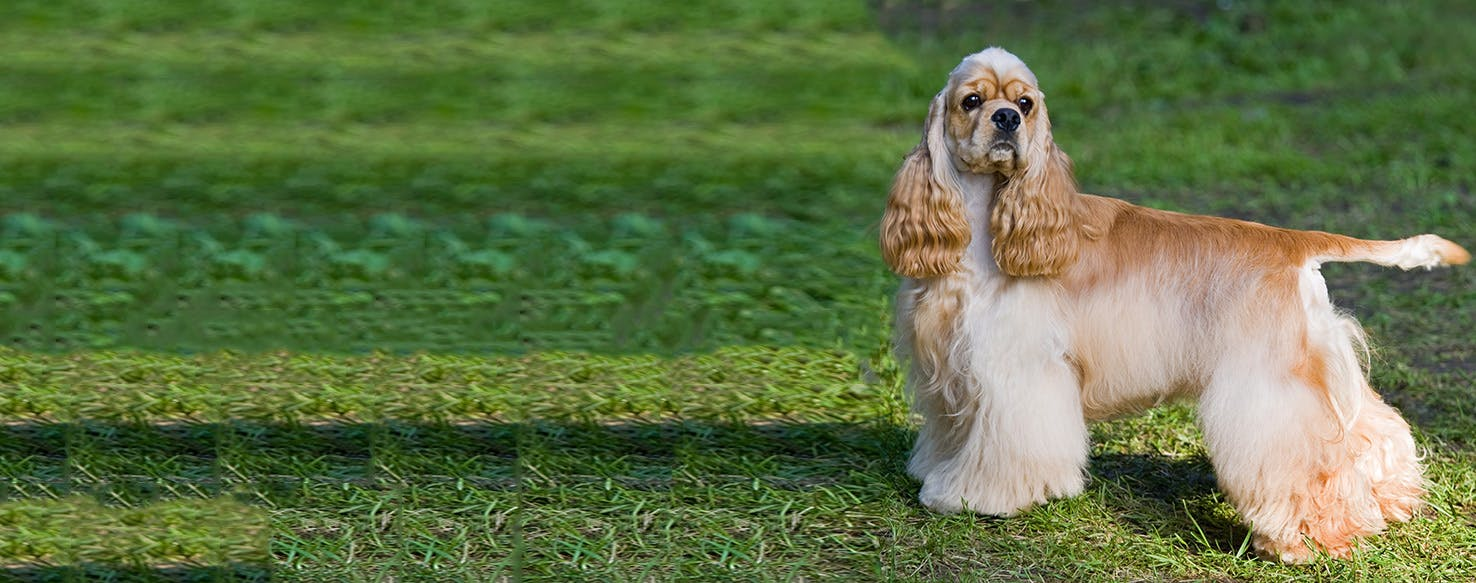 american cocker spaniel dog breed facts and information wag dog