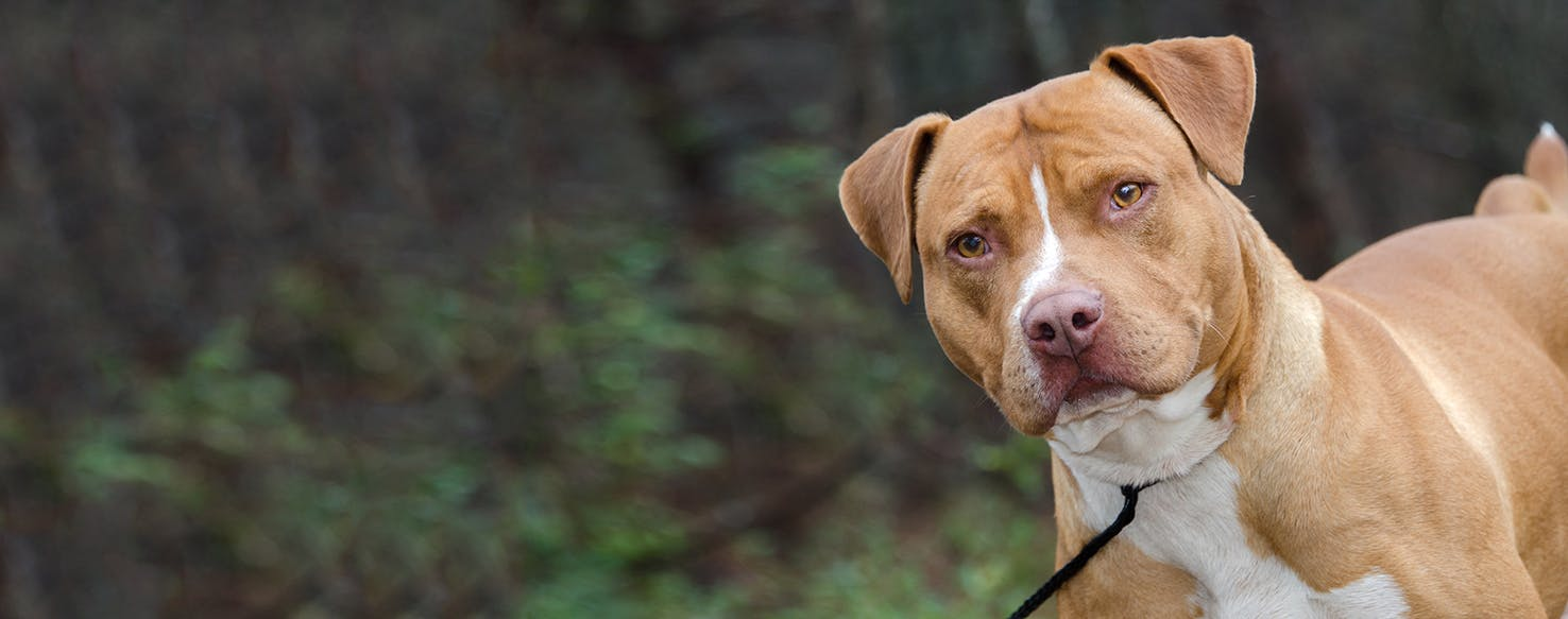 American Staffordshire Terrier | Dog Breed Facts and