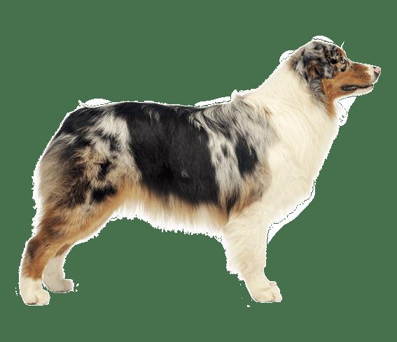 Australian Shepherd Dog Breed Facts And Information Wag Dog Walking