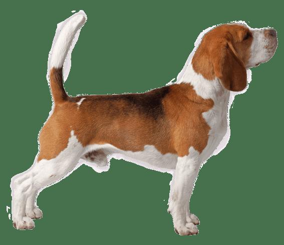 Beagle Dog Breed Facts And Information Wag Dog Walking