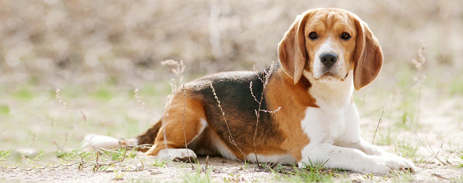 Beagle | Dog Breed Facts and Information - Wag! Dog Walking