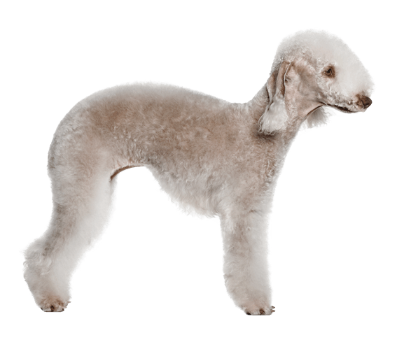 Bedlington Terrier Dog Breed Facts And Information Wag Dog Walking