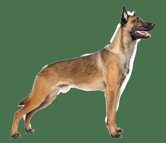 belgian malinois dog breed facts and information wag dog walking