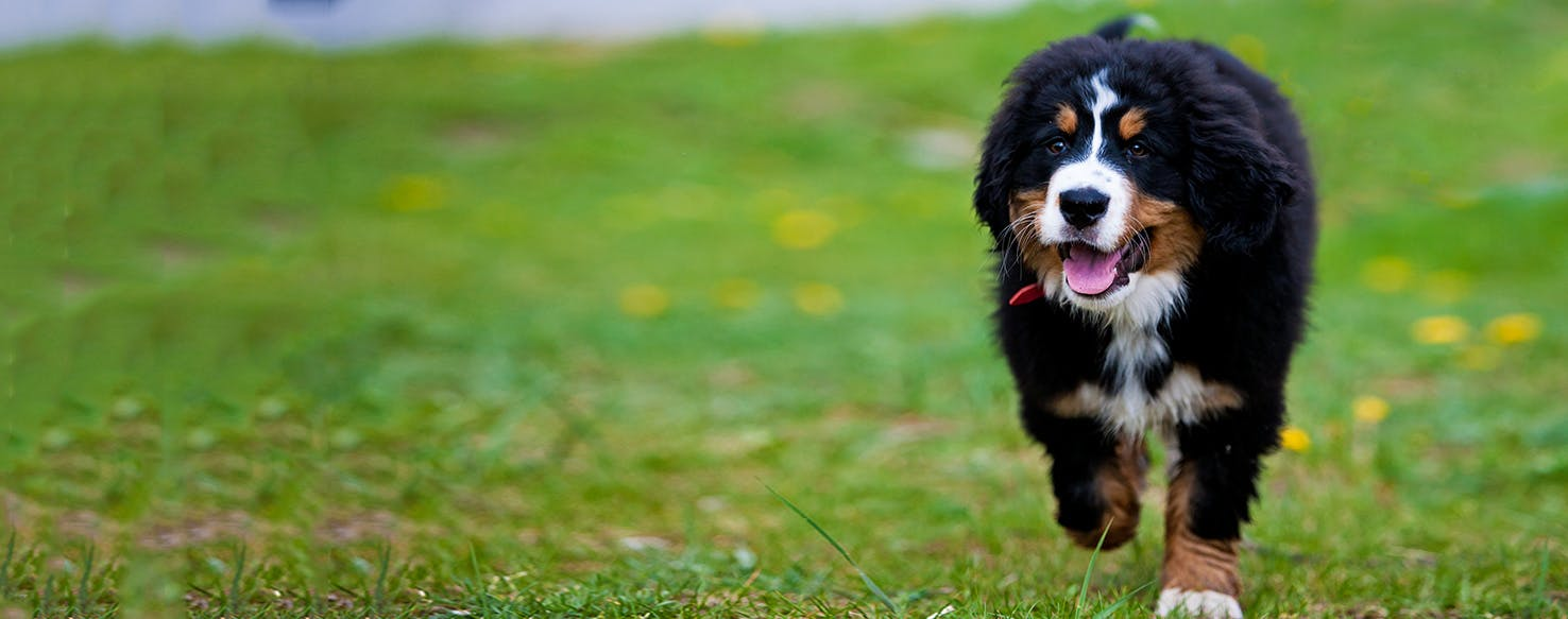 Bernese Mountain Dog Dog Breed Facts And Information Wag
