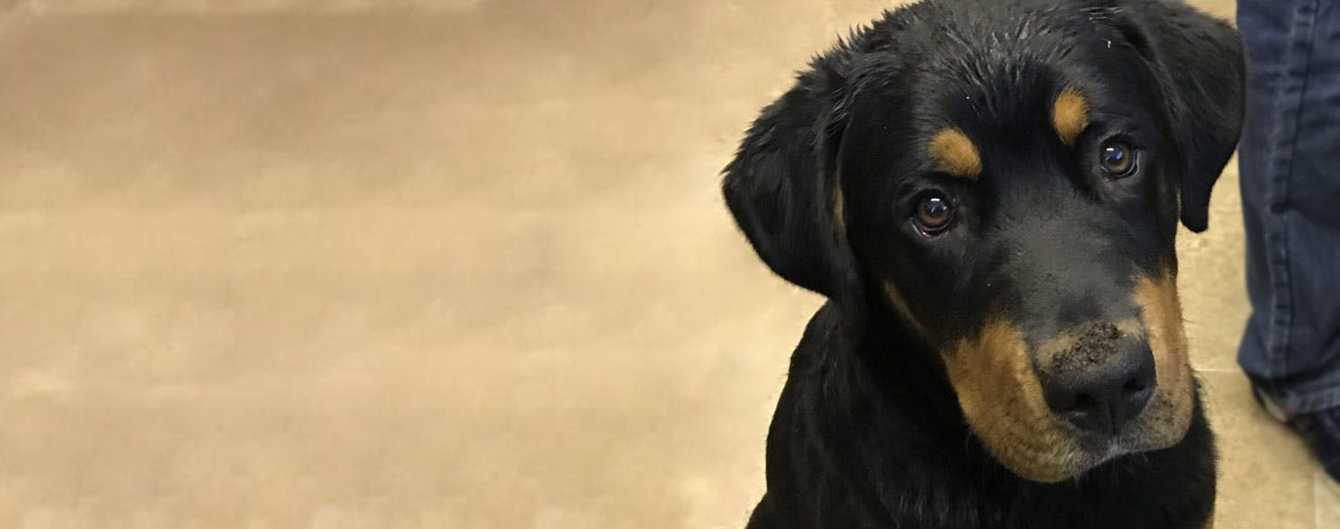 Bernese Rottie Dog Breed Facts And Information Wag Dog Walking