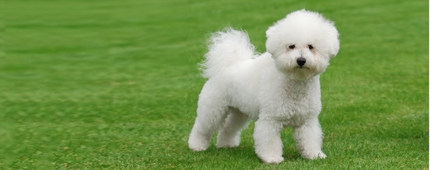 bichon frise dog breed facts and information wag dog walking
