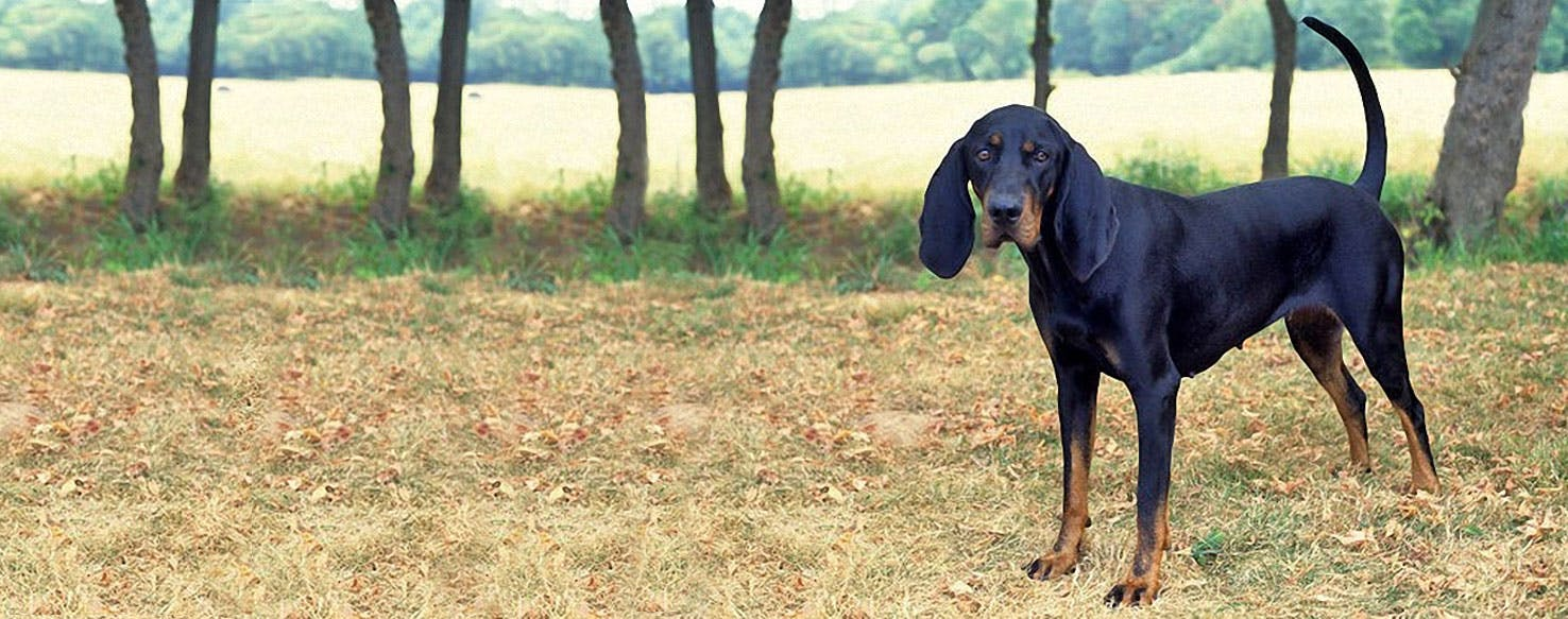 Black And Tan Virginia Foxhound Dog Breed Facts And Information Wag Dog Walking