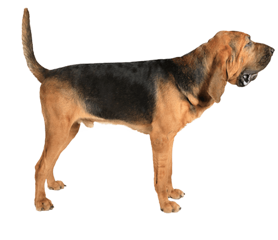 Bloodhound | Dog Breed Facts and Information - Wag! Dog Walking