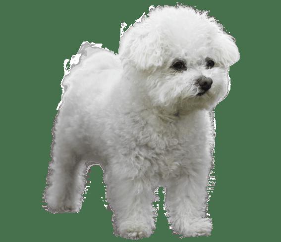 Bolognese Dog Breed Lifespan