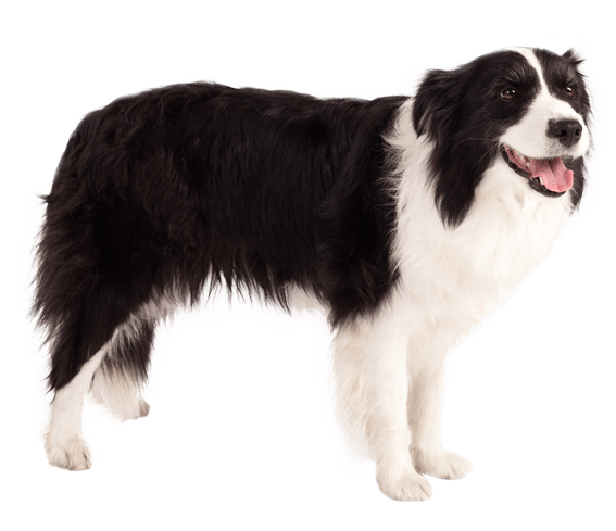 border collie dog breed facts and information wag dog walking
