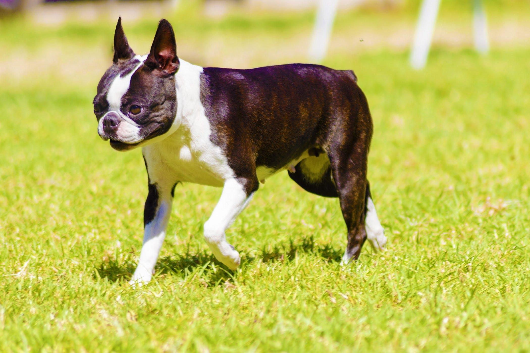 631e1b214b Boston Terrier