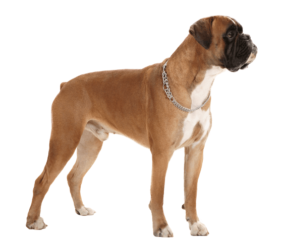 Boxer | Dog Breed Facts and Information - Wag! Dog Walking