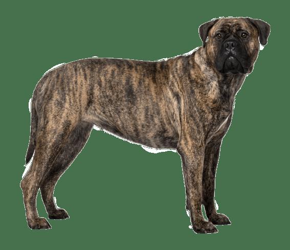 bullmastiff dog breed facts and information wag dog walking