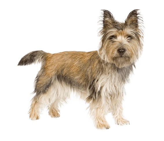 Cairn Terrier Dog Breed Facts And Information Wag Dog Walking