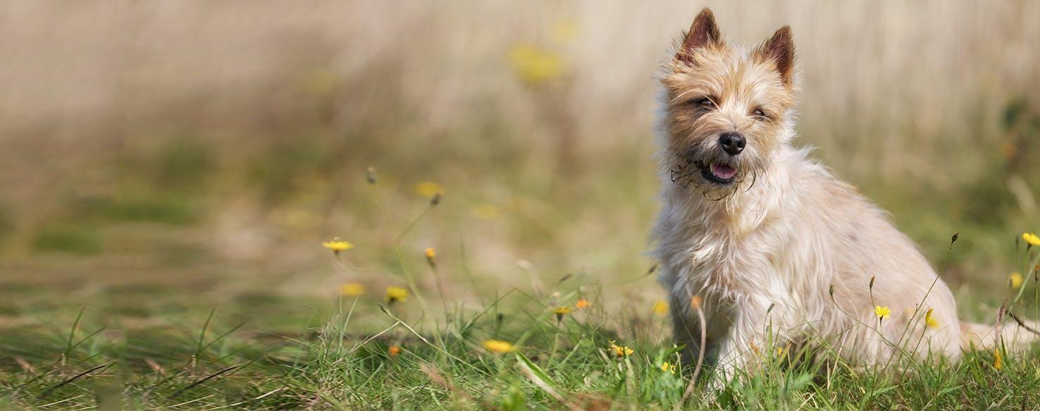 Amazing Cairn Terrier Ball Adorable Dog - cairn-terrier  Photograph_389057  .jpg