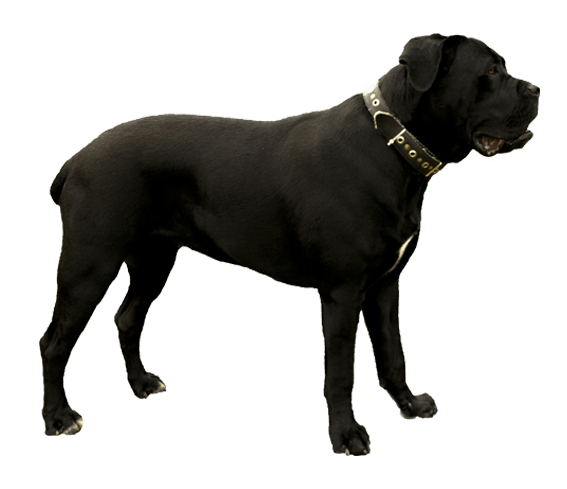 Cane Corso Dog Breed Facts And Information Wag Dog Walking