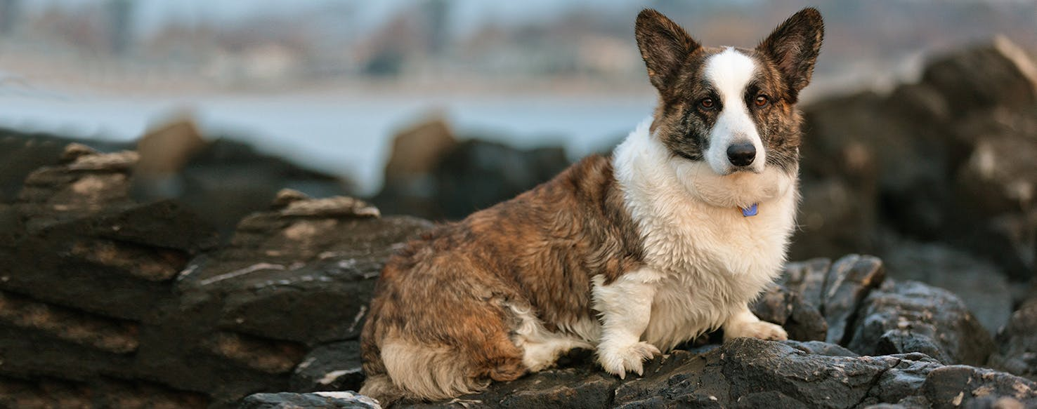 Cardigan Welsh Corgi   Dog Breed Facts and Information - Wag