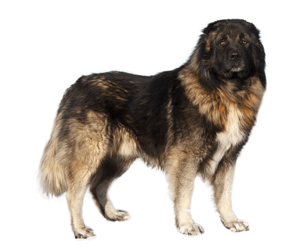 Caucasian Shepherd Mountain Dog Dog Breed Facts And Information