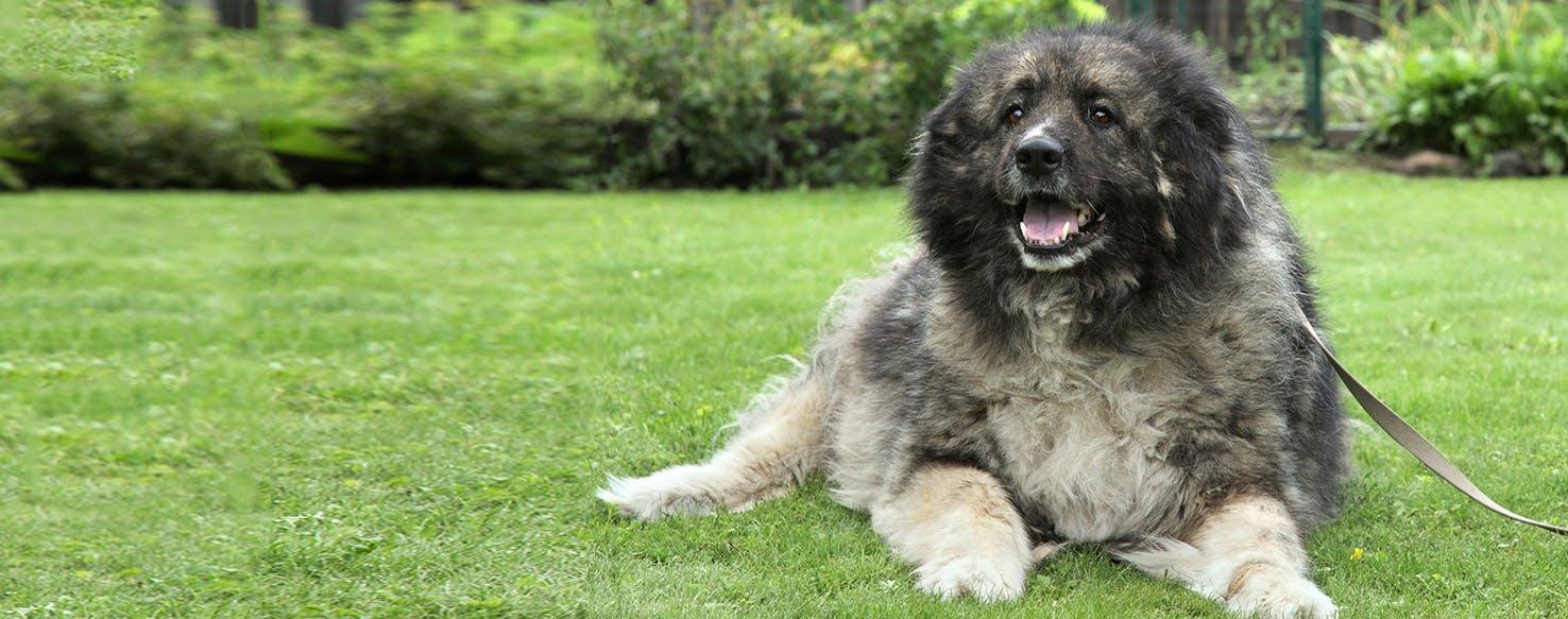 Russian caucasian mountain dog puppy