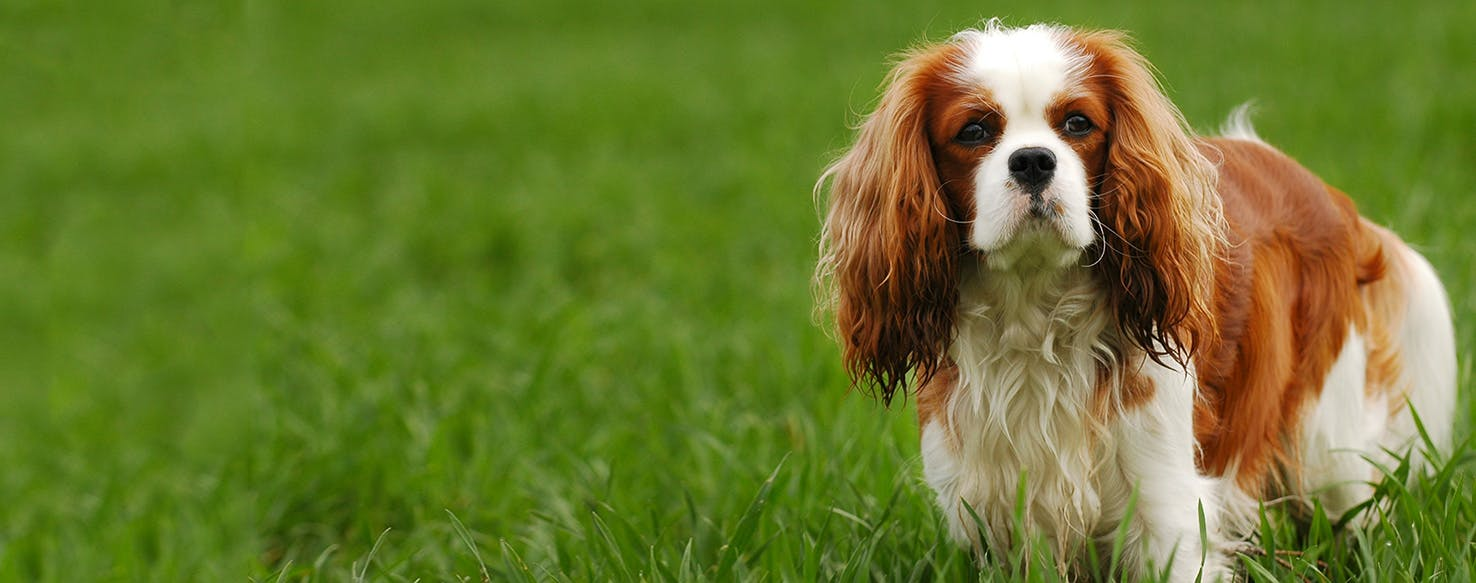 Cavalier King Charles Spaniel Dog Breed Facts And Information