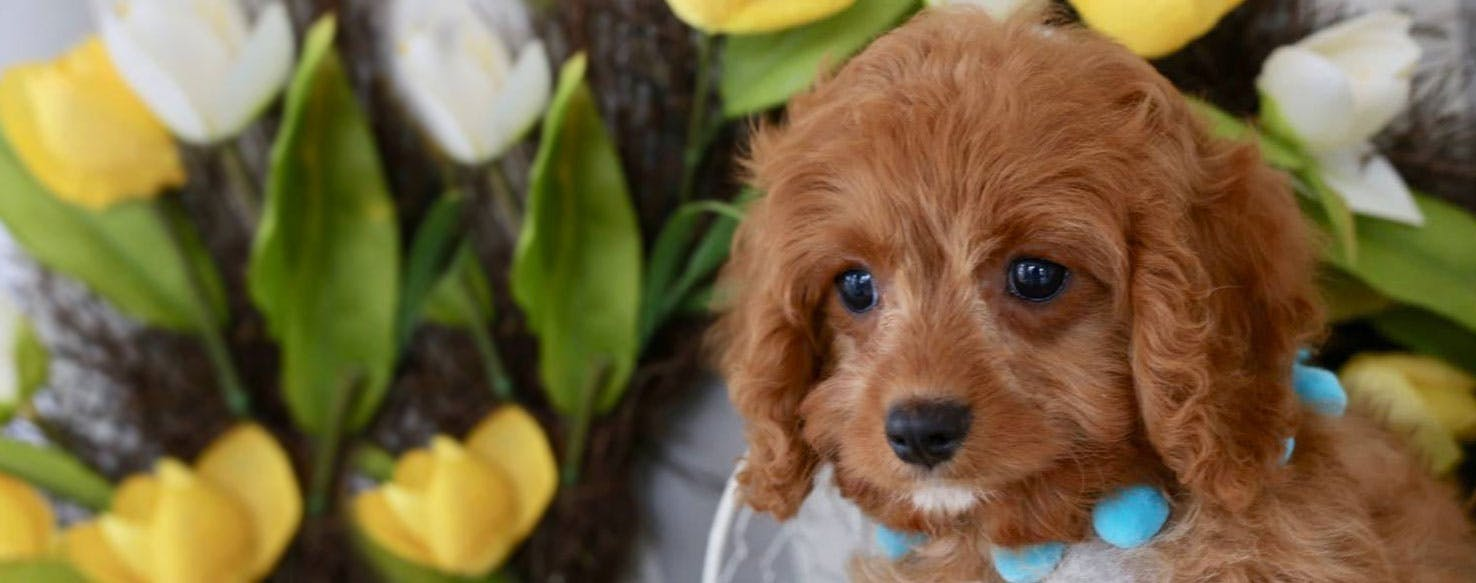 Cavapoo | Dog Breed Facts and Information - Wag! Dog Walking