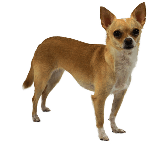 chihuahua dog breed facts and information wag dog walking