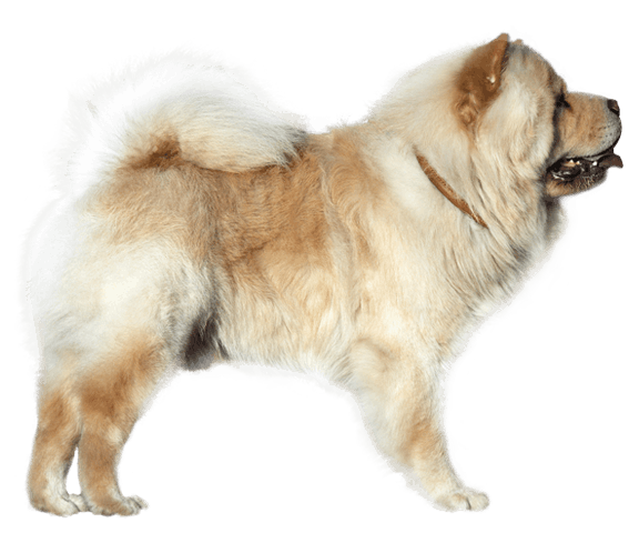 Chow Chow | Dog Breed Facts and Information - Wag! Dog Walking