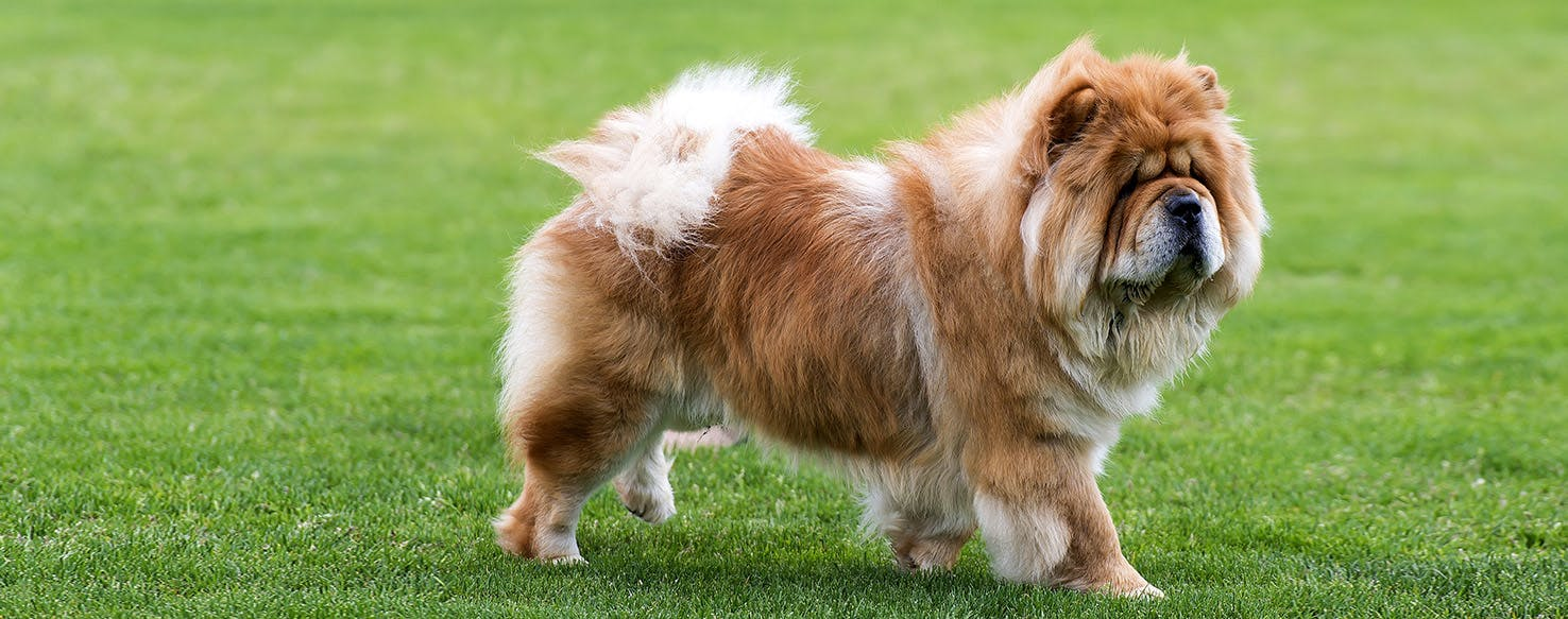 Chow Chow Dog Breed Facts And Information Wag Dog Walking