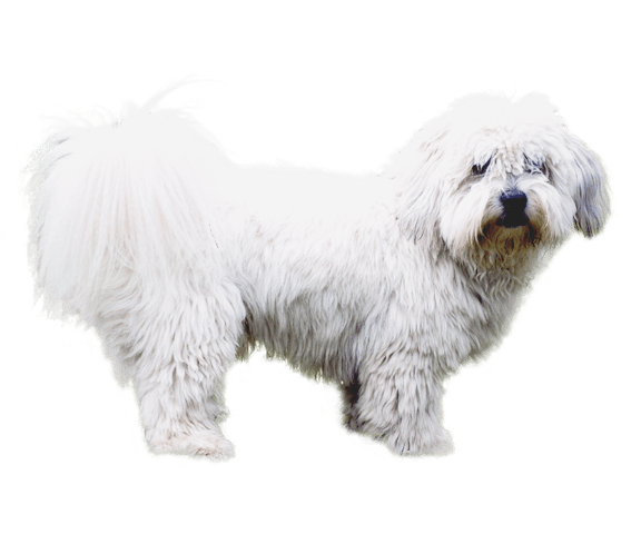 Coton De Tulear Dog Breed Facts And