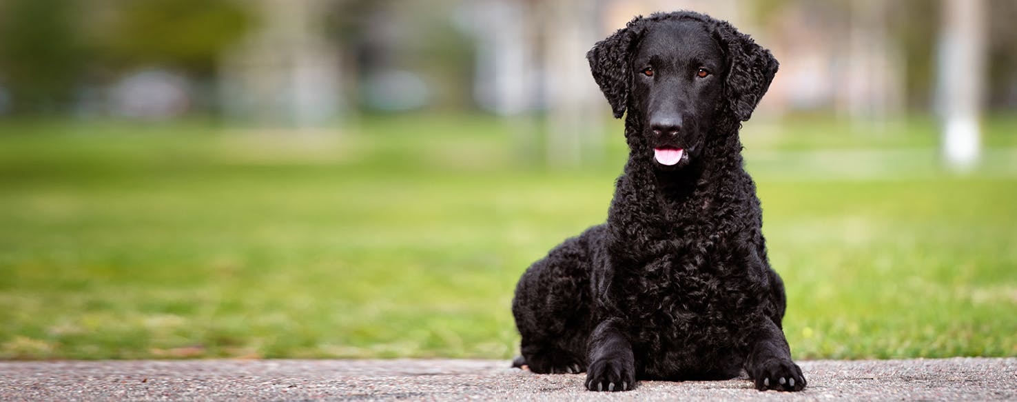 Straight-haired Retriever: photos and characteristics of the breed 9