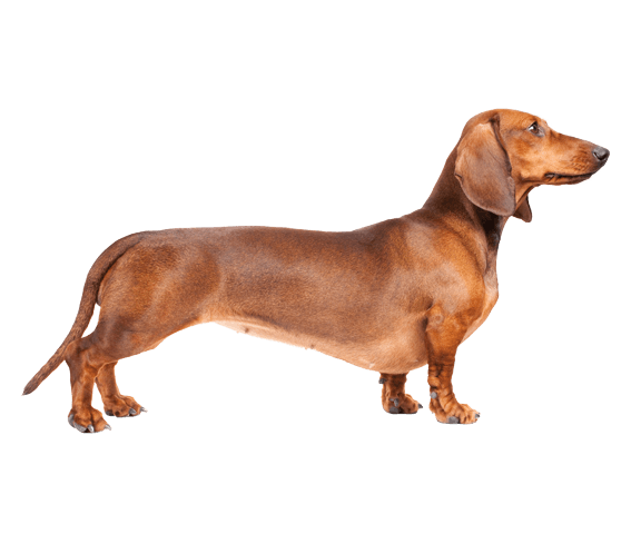 Dachshund | Dog Breed Facts and Information - Wag! Dog Walking