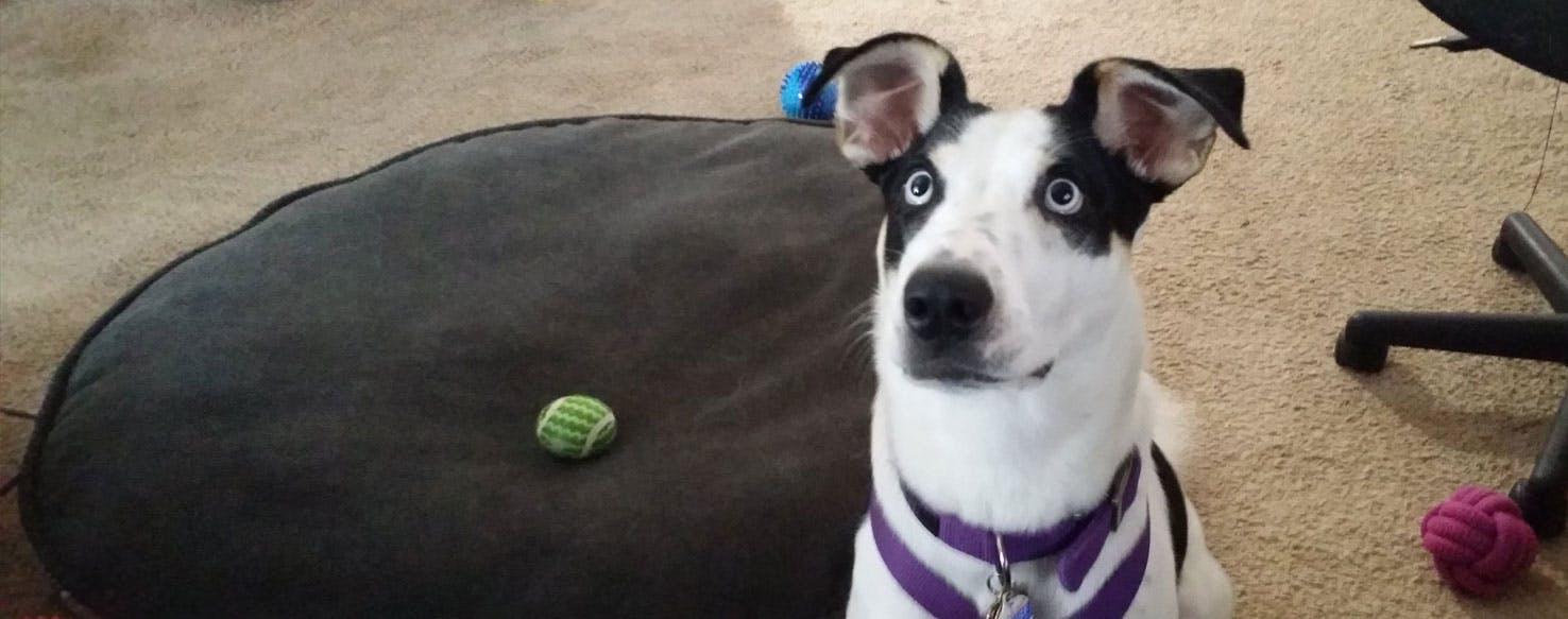 Dalmatian Husky Dog Breed Facts And Information Wag Dog Walking