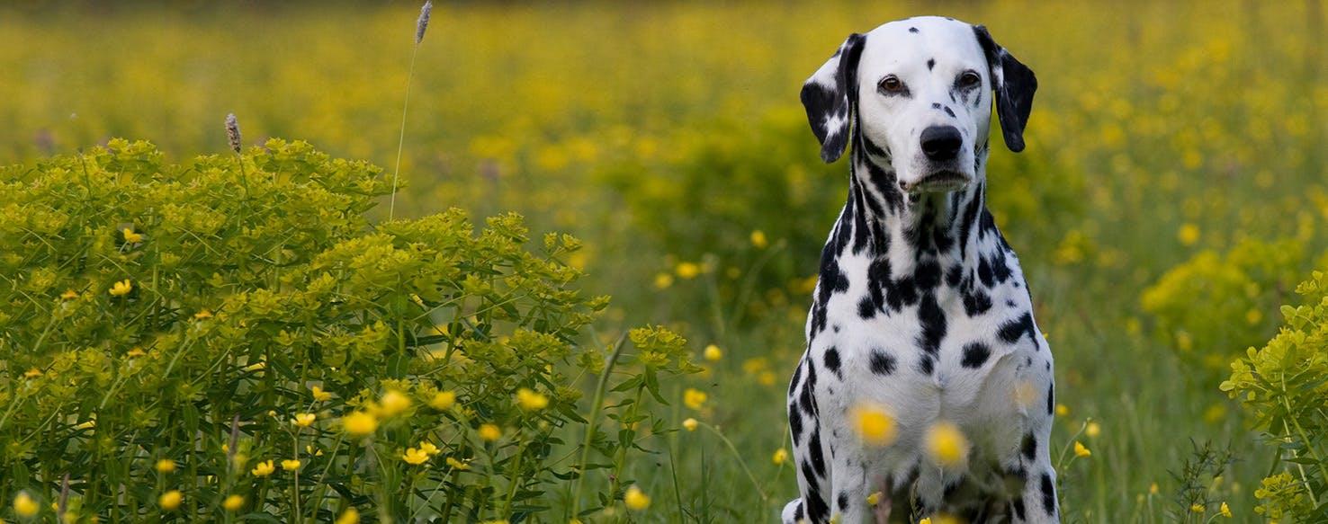 Dalmatian Dog Breed Health History Appearance