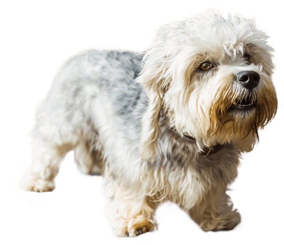 dandie dinmont terrier dog breed facts and information wag dog