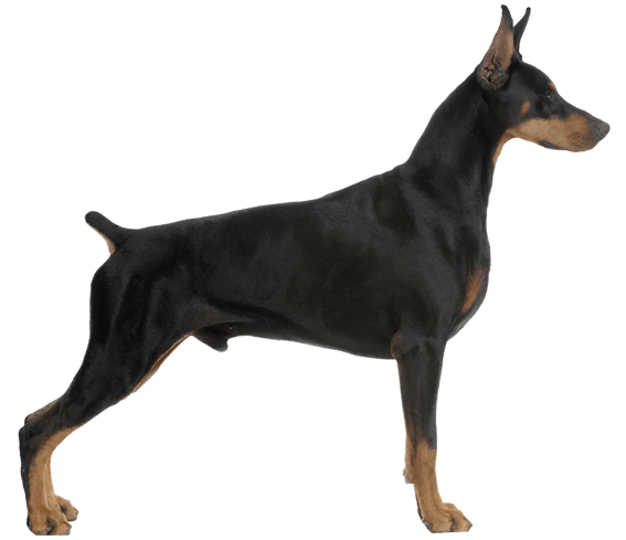 Doberman Pinscher Dog Breed Facts And Information Wag Dog Walking