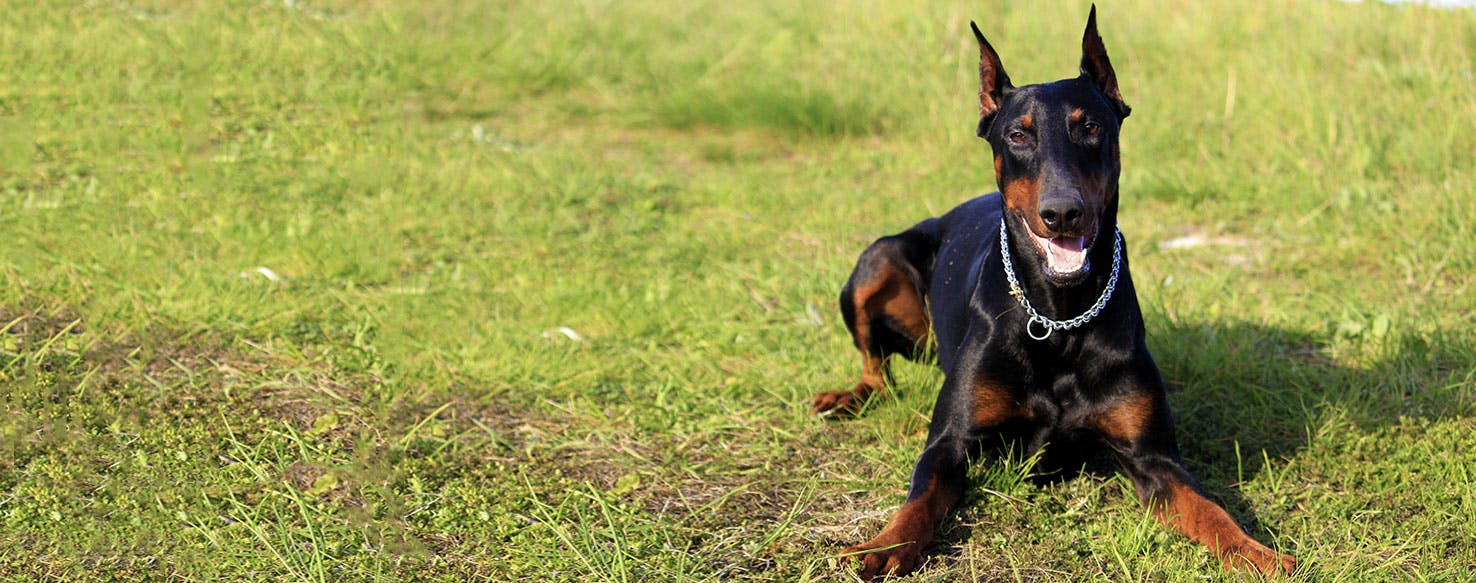 Doberman Pinscher | Dog Breed Facts and Information - Wag