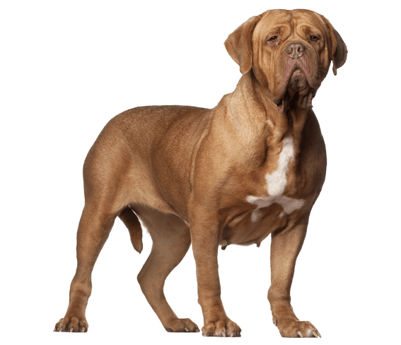 Dogue de Bordeaux | Dog Breed Facts and Information - Wag