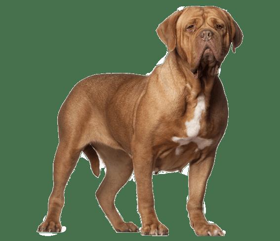 Dogue de Bordeaux Dog Breed Health History Appearance