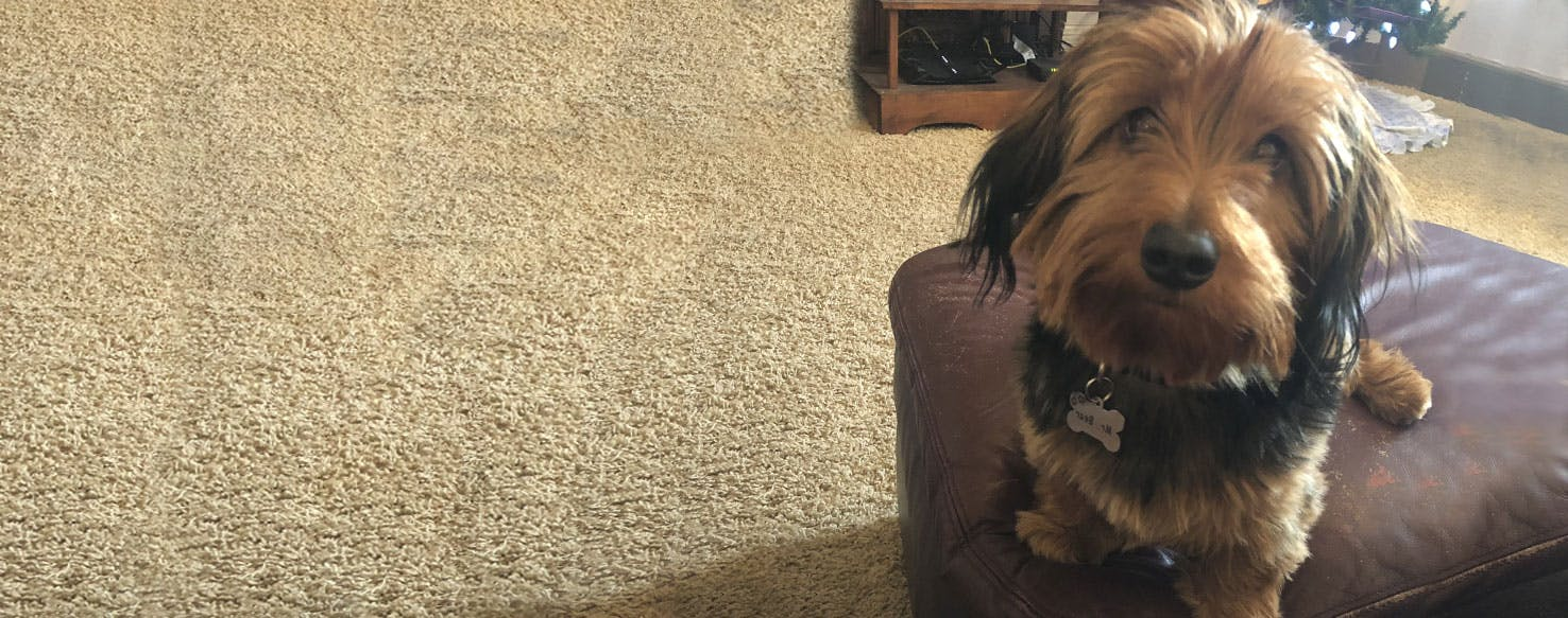 Dorkie Dog Breed Facts And Information Wag Dog Walking