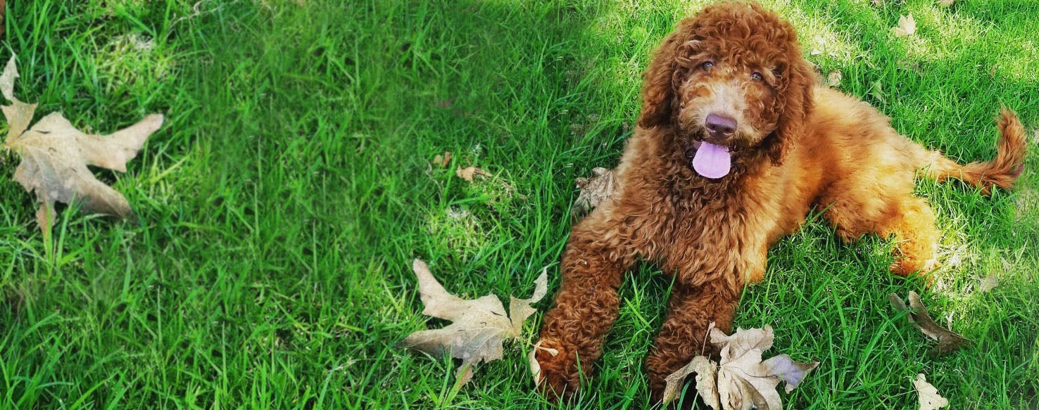 Double Doodle | Dog Breed Facts and Information - Wag! Dog