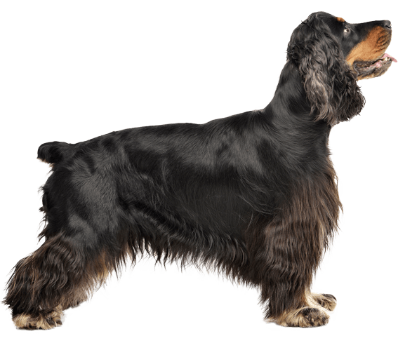 English Cocker Spaniel Dog Breed Facts And Information Wag Dog