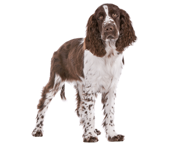 English Springer Spaniel | Dog Breed Facts and Information - Wag