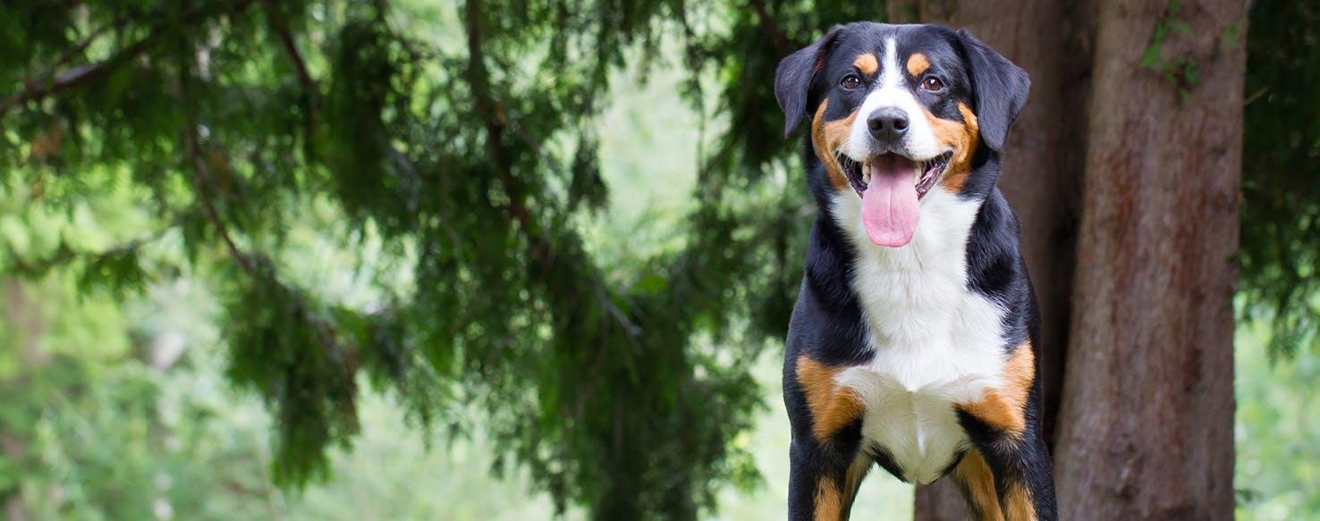 entlebucher mountain dog dog breed facts and information wag dog walking. Black Bedroom Furniture Sets. Home Design Ideas